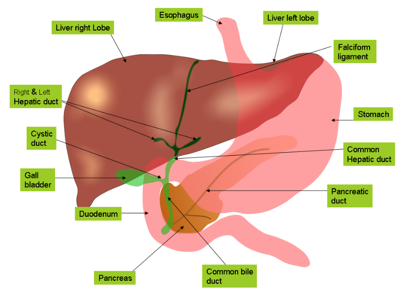 Functions Of The Liver And Gallbladder Holistic Healthjam